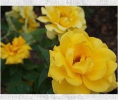 Yellow Flowers Yellow Rose Image