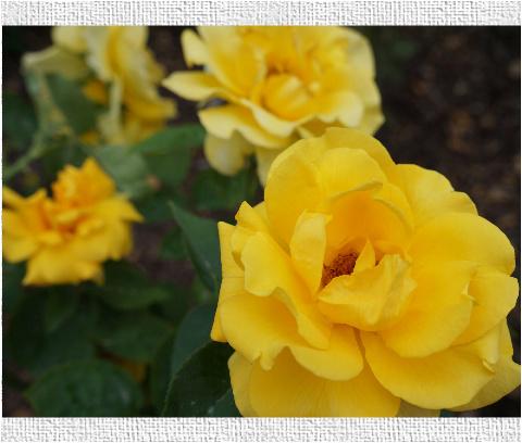 Yellow Flowers Yellow Rose